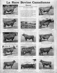 Poster de bovins canadiens