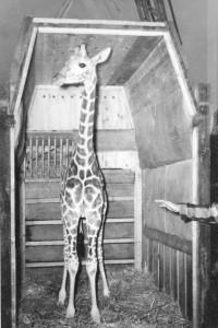 Un girafeau, zoo de Granby
