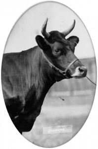 Vache canadienne