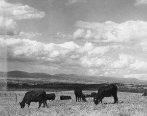 Troupeau de l'hospice Saint-Charles de Cap-Rouge, vers 1920. (Fonds Société des éleveurs de bovins canadiens, SHHY. Photo : Office provinciale de publicité, Québec, P027-140